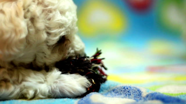 puppy playing with a rope - havanese stock videos & royalty-free footage