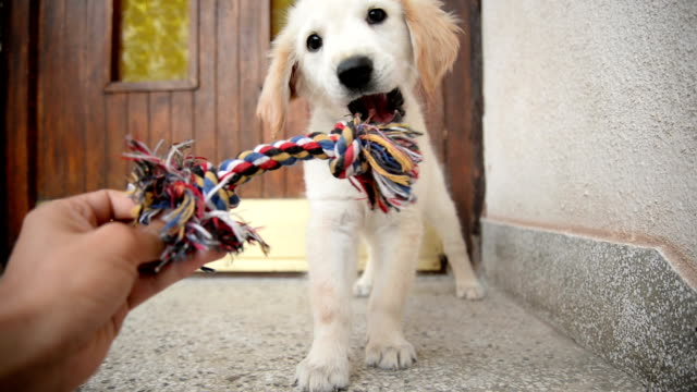 puppy playing with toy. - playful stock videos & royalty-free footage