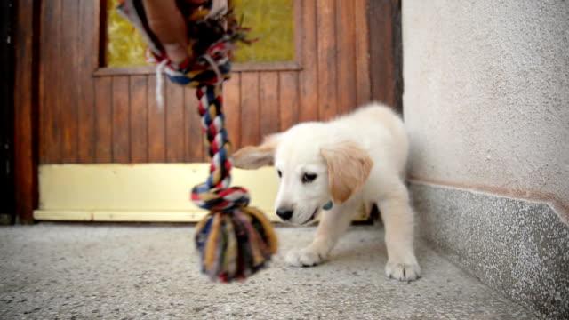 vídeos y material grabado en eventos de stock de perrito jugando con el juguete. - comportamiento de animal