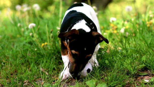 vidéos et rushes de petit chiot jouer avec le ballon - terrier jack russell