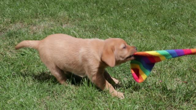 Puppy pulling on stocking