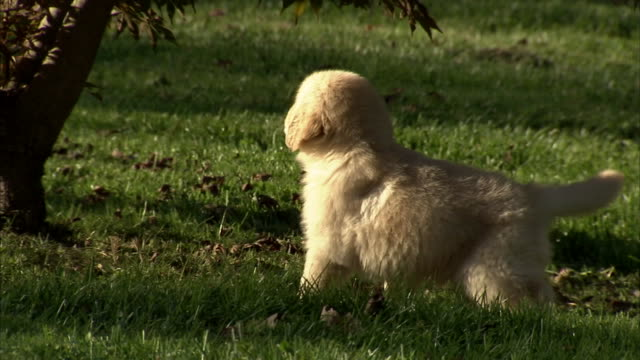 a puppy romps in grass. - welpe stock-videos und b-roll-filmmaterial