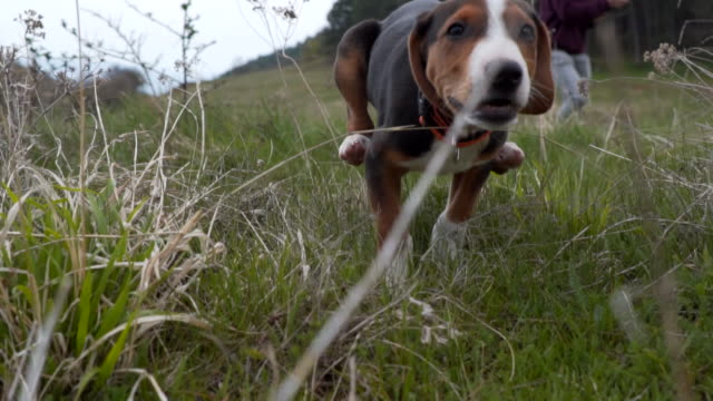 puppy running after the camera - pursuit sports competition format stock videos & royalty-free footage