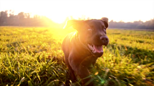 slo mo puppy running in grass - pets stock videos & royalty-free footage