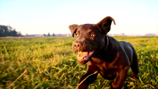 SLO MO Puppy running in grass