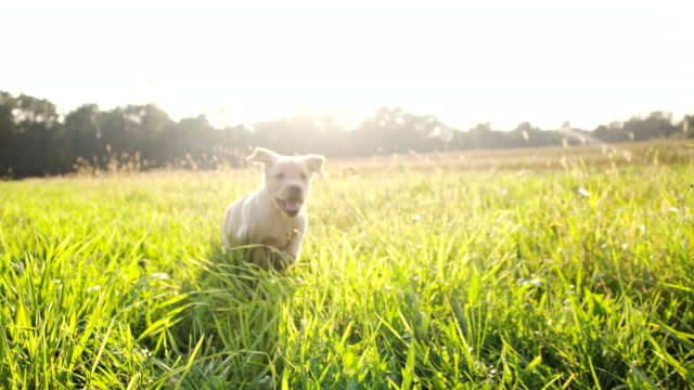 SLO MO cucciolo In esecuzione In erba alta