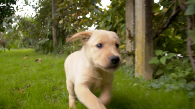 slo mo puppy running in the backyard - lawn stock videos & royalty-free footage