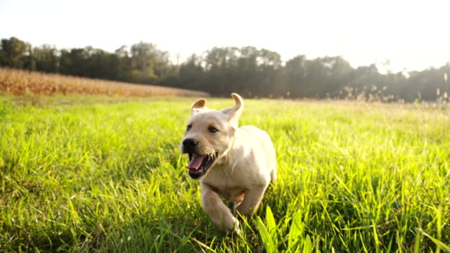 slo mo puppy running in the grass - puppy stock videos & royalty-free footage