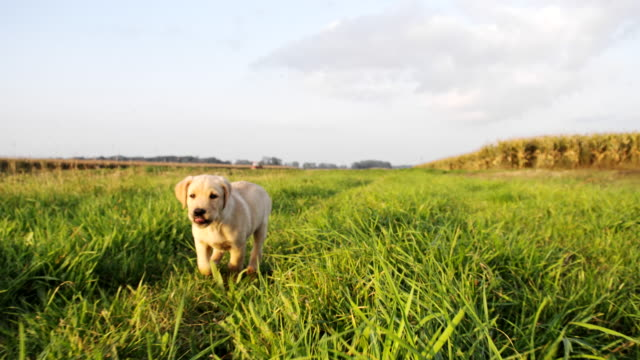la cu puppy running in the meadow - pursuit sports competition format stock videos and b-roll footage