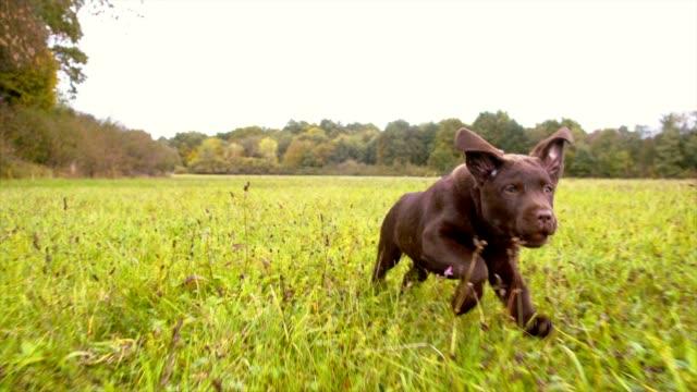 SLO-MO Hund Laufen auf dem Rasen