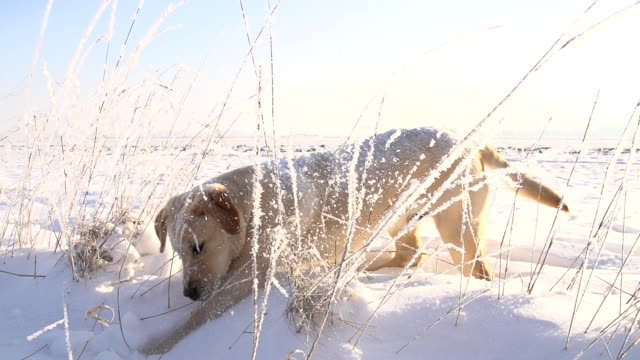 slo mo puppy running in the snow - pursuit sports competition format stock videos & royalty-free footage