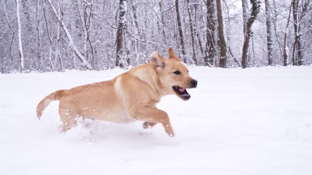 SLO MO cucciolo In esecuzione nella foresta invernale