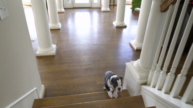 stockvideo's en b-roll-footage met puppy running up stairs in a house - houten vloer