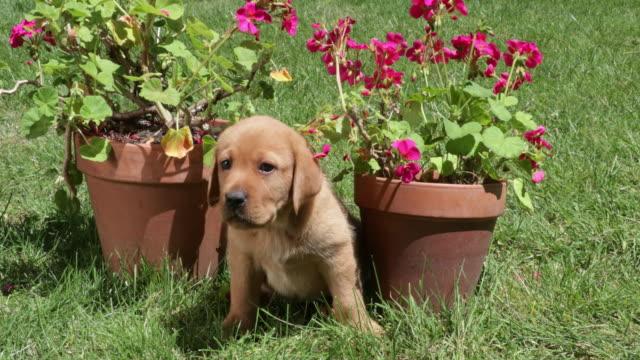 puppy sitting between geraniums - ゼラニウム点の映像素材/bロール