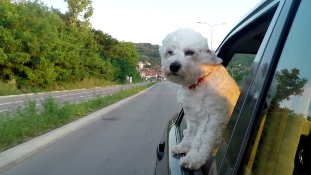 puppy sticking head out of a moving car - bichon frise stock videos and b-roll footage
