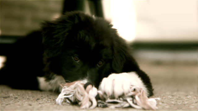 puppy - border collie stock videos & royalty-free footage