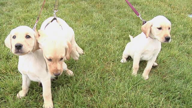 stockvideo's en b-roll-footage met puppy walk - drie dieren