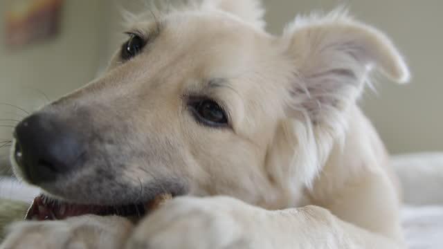 チュースティック付き子犬 - 突き出た鼻点の映像素材/bロール