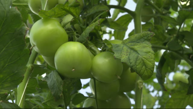 Pure Harvest company growing tomatoes in high tech greenhouses Abu Dhabi