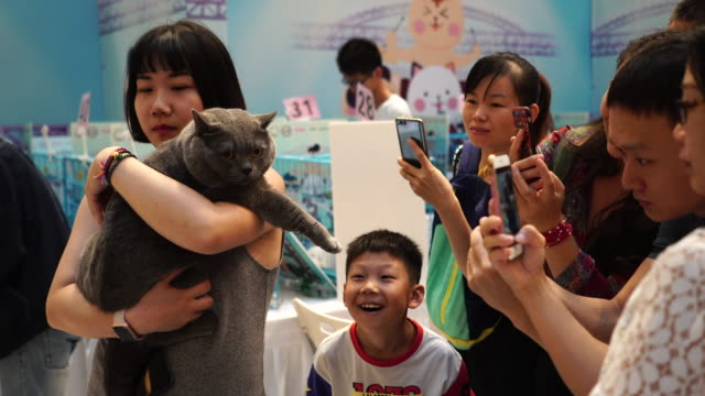 a purebred cat awarding competition is held in a shopping mall more and more chinese young people have their purebred cats and take it as a social... - shorthair cat stock videos and b-roll footage