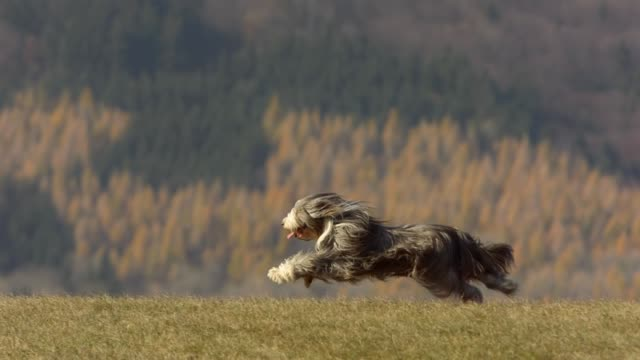 purebred dog running on the lawn - running stock videos & royalty-free footage