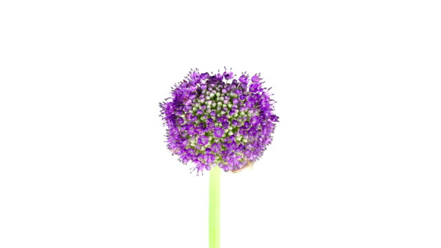 Purple Allium Flower; TIME LAPSE