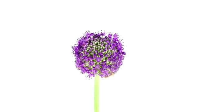 purple allium flower; time lapse - flower head stock videos & royalty-free footage