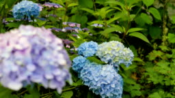 Purple and blue hydrangea close-up. Change the focal length.