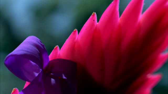 A purple and pink Bromeliad blooms and grows. Available in HD.