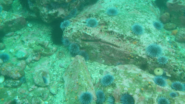 purple and red sea urchins - appuntito video stock e b–roll
