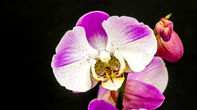 purple and white orchid flower blooming in a time lapse video on a black background. time lapse of phaaenopsis in motion. - orchid stock videos & royalty-free footage