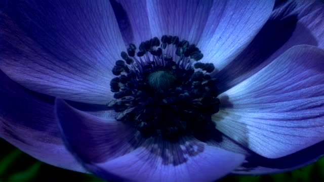 vidéos et rushes de a purple anemone flower blooms in a time lapse. available in hd. - violet