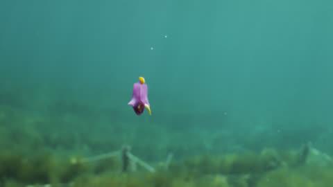 purple batwing slug (sagaminopteron ornatum) flaps its wing like parapodia. japan. - sea life stock videos & royalty-free footage