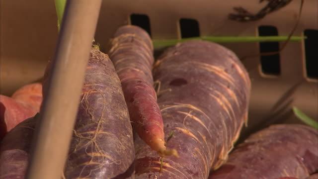 vidéos et rushes de purple carrots inside a basket - carotte