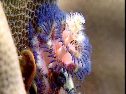 stockvideo's en b-roll-footage met purple christmas tree worm retreats into cavity in coral, sulawesi - kokerworm