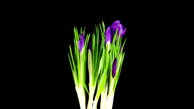 Purple Crocus; TIME LAPSE
