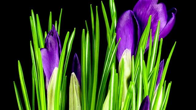 Purple Crocus; TIME LAPSE