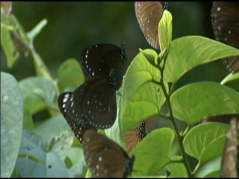 purple crow butterflies perched on foliage in forest - taiwan stock videos & royalty-free footage