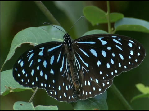purple crow butterfly perched on foliage in forest - taiwan stock videos & royalty-free footage