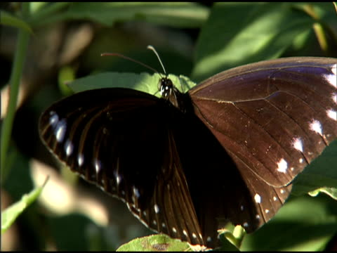 purple crow butterfly perched on leaf - taiwan stock videos & royalty-free footage