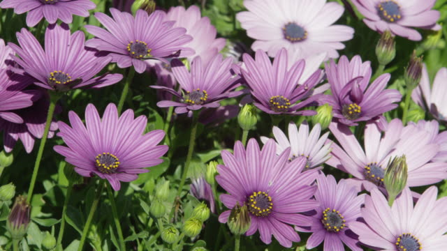 vidéos et rushes de purple daisies in the wind - marguerite