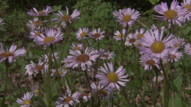 purple daisies tremble in a breeze. - daisy stock videos & royalty-free footage