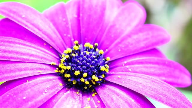 咲く紫のデイジー - 極端なクローズアップ点の映像素材/bロール