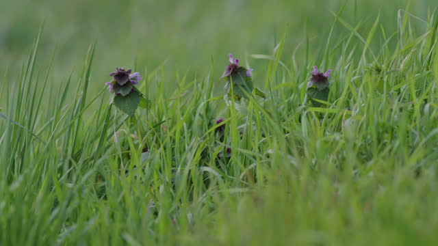purple dead-nettle - nettle stock videos & royalty-free footage