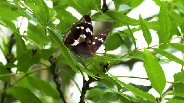 purple emperor butterfly (apatura iris) in canopy - endangered species stock videos & royalty-free footage