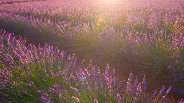 Purple fields of lavender dancing in the wind