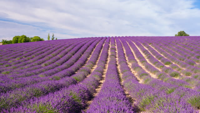 purple fields of lavender in the summer time - lavender stock videos & royalty-free footage