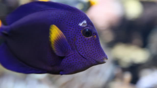 cu purple fish swimming in aquarium, potsdam, brandenburg, germany - saltwater fish stock videos & royalty-free footage