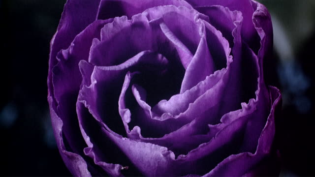 cu t/l purple flower opening and closing  / studio city, california, usa - flower点の映像素材/bロール