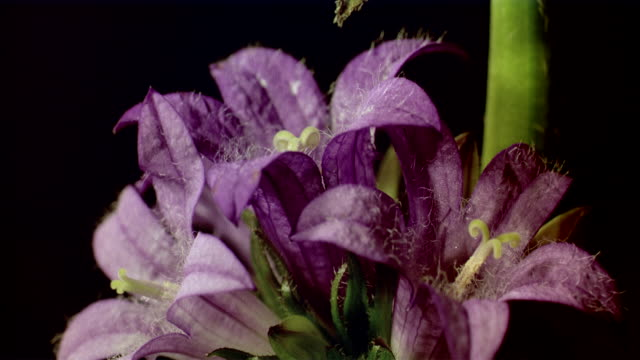 cu t/l  purple flower opening with yellow stamen  / studio city, california, usa - stamen stock videos & royalty-free footage